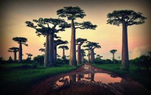 Baobaby na Madagaskaru
