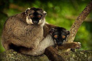 Lemuři na Madagaskaru