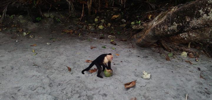 Opice na pláži na Kostarice